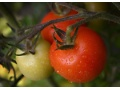 Prostate cancer risk cut by tomatoes