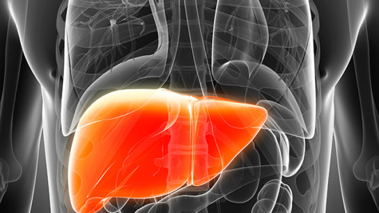 An illustration of the human liver.