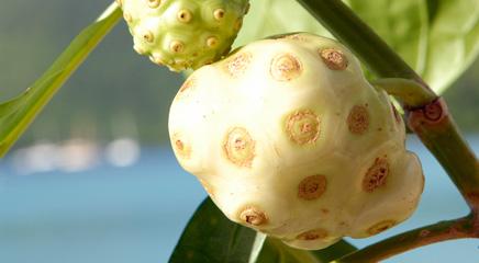 Clinical data on Hawaiian noni fruit
